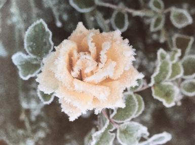 card_Rose